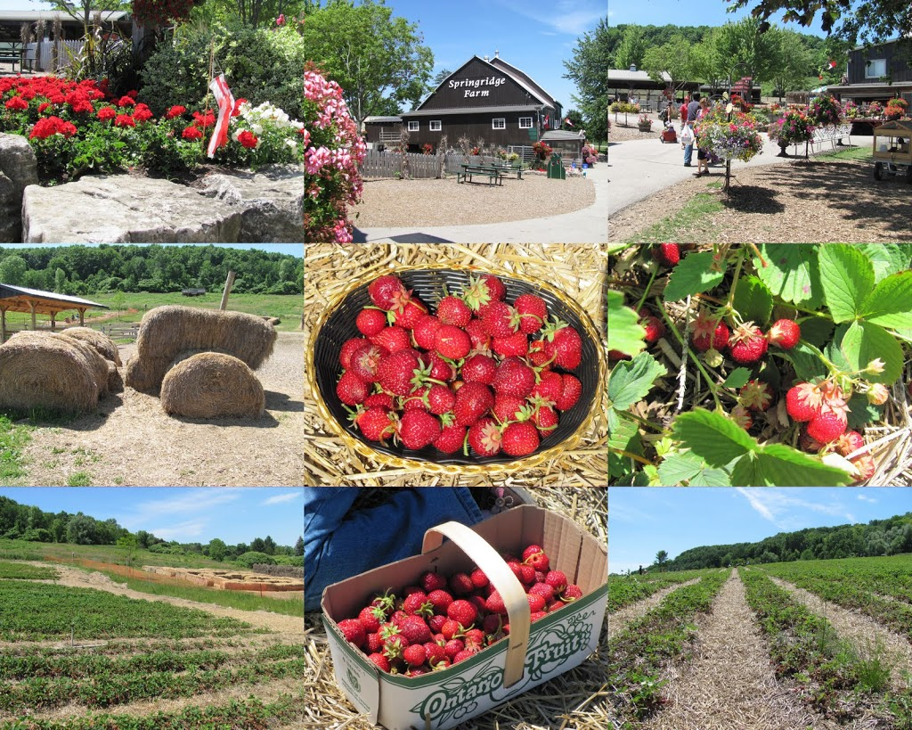 Strawberry Picking Springridge Farm Ontario